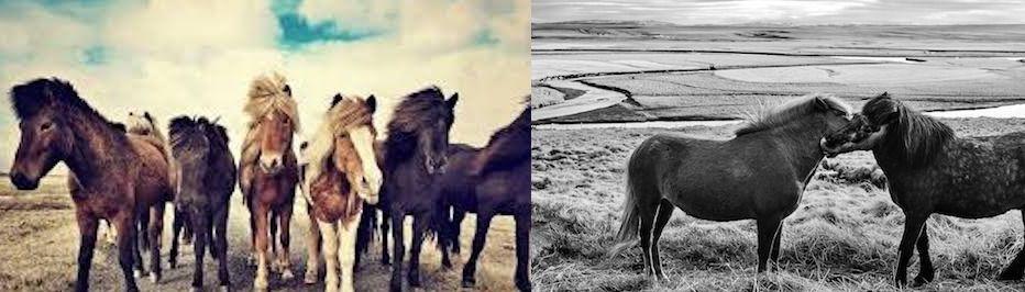 horses ponies